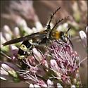Bee like bug nectaring Bee Balm - Campsomeris plumipes - female