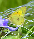 Trying to Identify Southern Dogface - Colias eurytheme