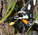Alypia octomaculata? - Alypia octomaculata