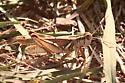 Grasshopper - Melanoplus packardii - male
