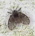 Moth fly sp.  - Clogmia