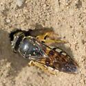 Wasp and burrow - Bicyrtes quadrifasciatus - female