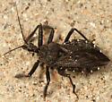 assassin bug - Apiomerus longispinis