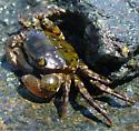 Asian Shore Crab - Hemigrapsus sanguineus