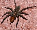 wolf spider? - Tigrosa georgicola