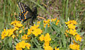 Black Swallowtail record for MN June 1 - Papilio polyxenes - male