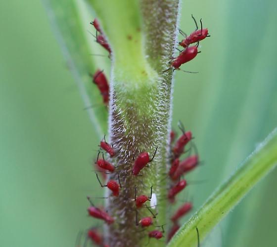 Uroleucon rudbeckiae ?