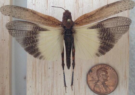 Unknown Grasshopper - Trimerotropis verruculata - female