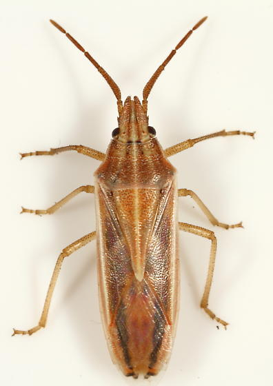 Pentatomidae - Mecidea