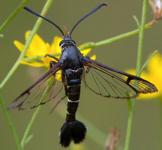 Dark clear wing moth - Carmenta phoradendri