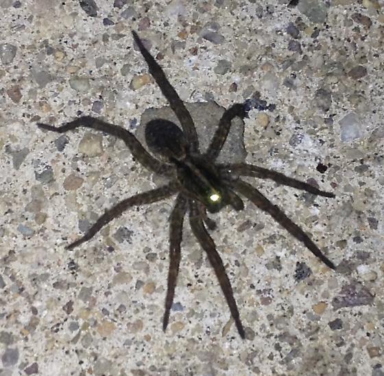 spider on the concrete - Tigrosa