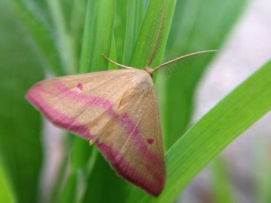 Moth ID requested - Haematopis grataria - male