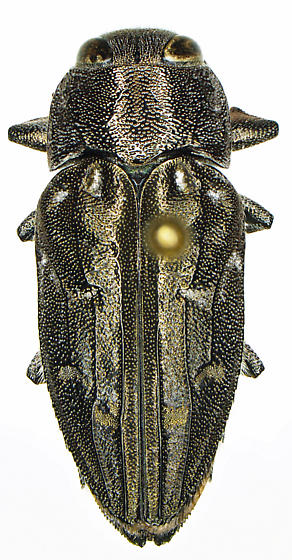 Chrysobothris peninsularis Schaeffer - Chrysobothris peninsularis - female