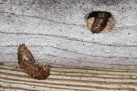Tiger Bee Fly - Xenox tigrinus - Larva