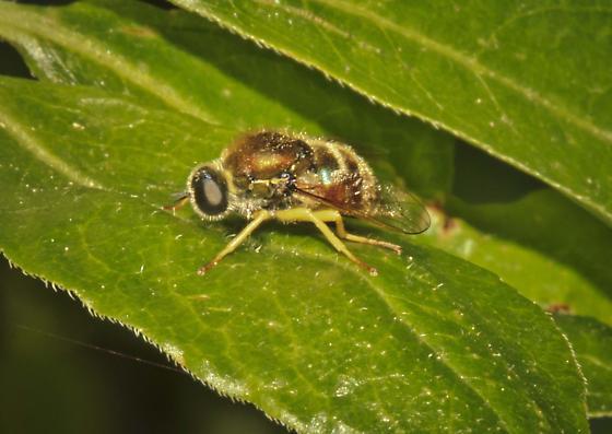 Syrphidae? - Eulonchus sapphirinus