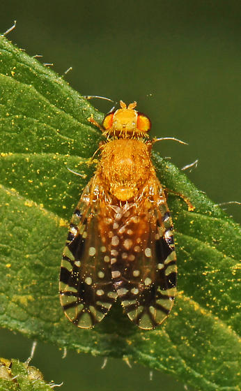 Fruit Fly - Euaresta festiva? - Euaresta festiva