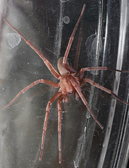pretty shimmery spider  - Titiotus - male