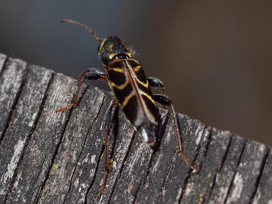Black and Yellow Beetle - Xylotrechus convergens