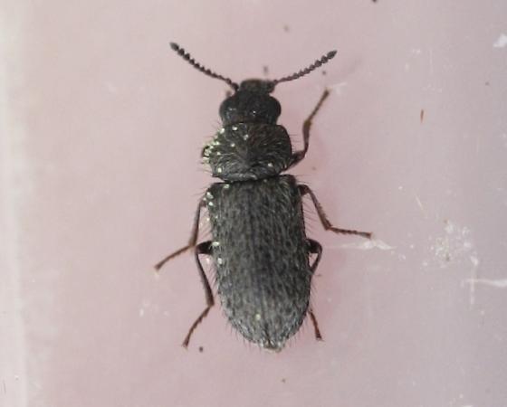 Beetle on Buckwheat - Trichochrous