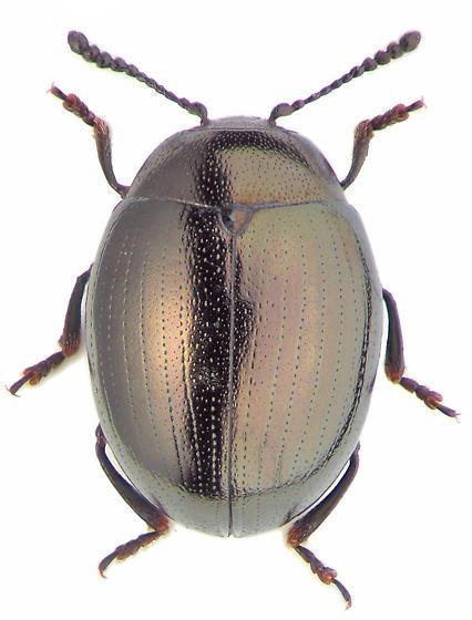 Phaedon laevigatus