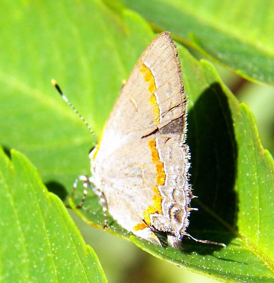 Red banded hairstreak - Calycopis cecrops