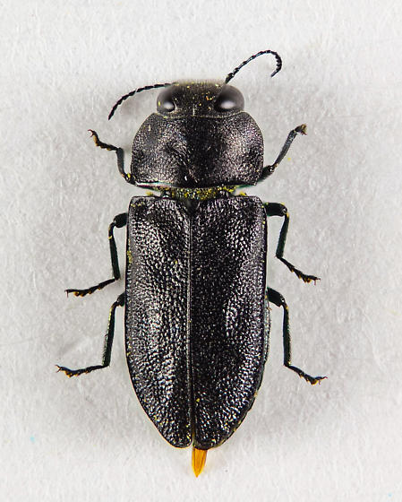 Buprestid of sorts.... - Anthaxia
