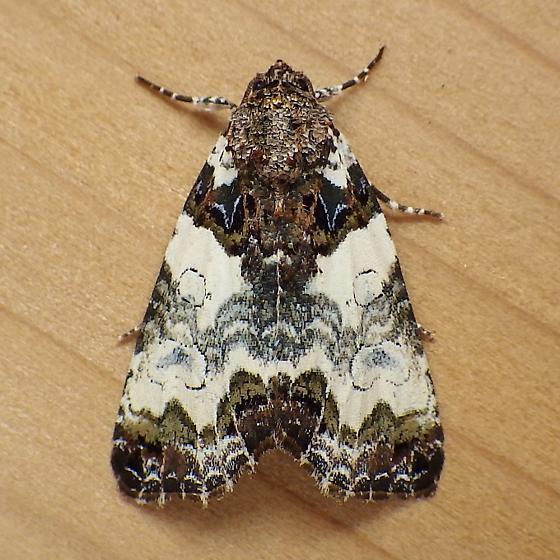 Noctuidae: Cerma cerintha - Cerma cerintha