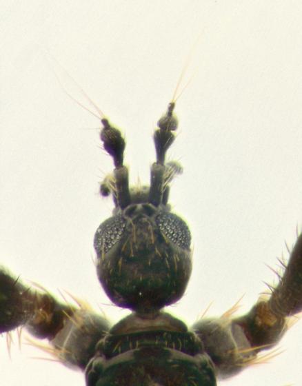 Snow Fly, head, dorsal - Chionea stoneana - male
