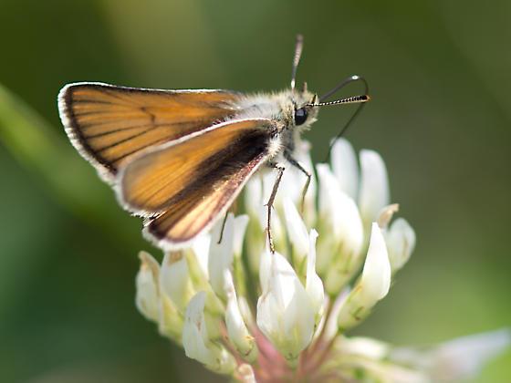 Skipper identification please - Thymelicus lineola
