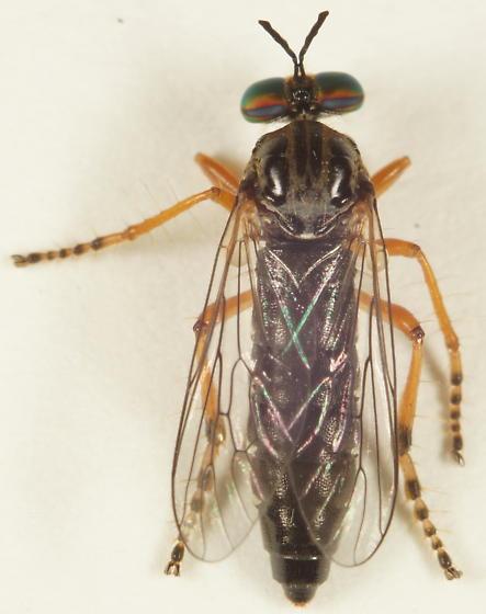 Asilidae? - Taracticus octopunctatus - female