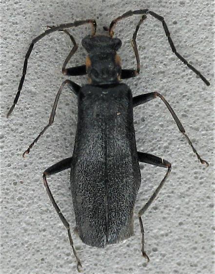 Dichelotarsus? - Dichelotarsus