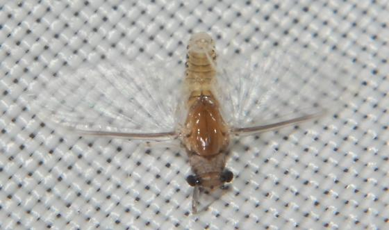 True bug? Strange mayfly? - Caenis