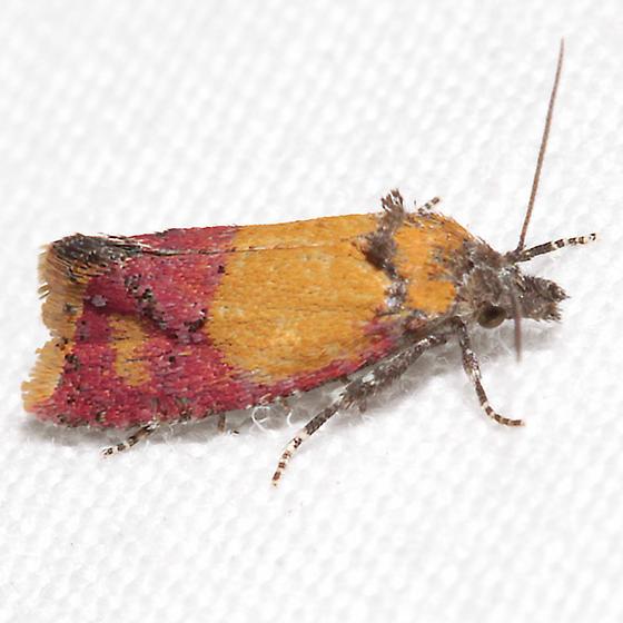 Cochylis oenotherana - Atroposia oenotherana