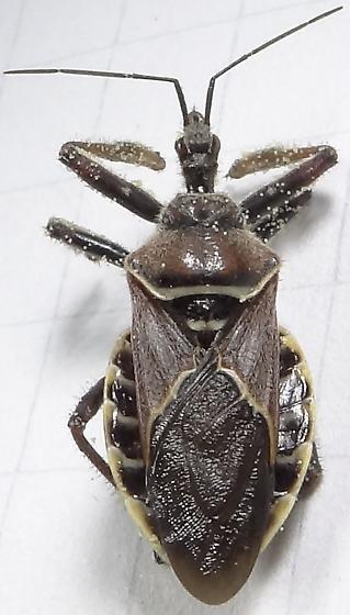 Cactus Insect #5 - Apiomerus spissipes