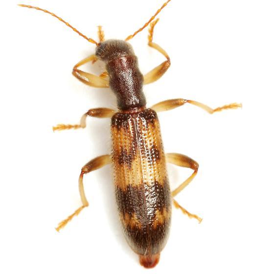 Cymatodera undulata (Say) - Cymatodera undulata