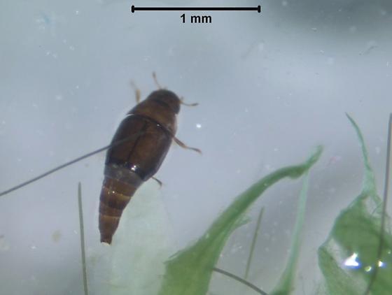 Hydroscapha redfordi