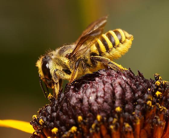 Horn-faced leaf-cutter bee (Megachile fidelis) - Megachile fidelis