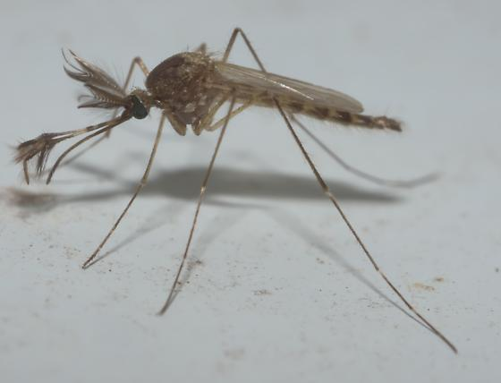 Brown male mosquito - Aedes vexans - male