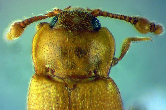 HadromychusMale - male
