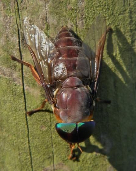 Horse fly - Tabanus americanus - male