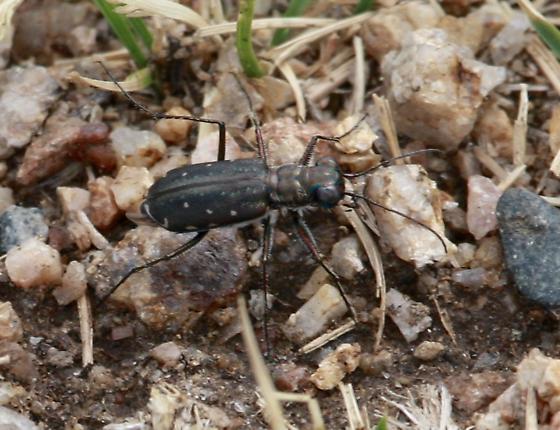 Tiger beetle species. - Cicindelidia punctulata