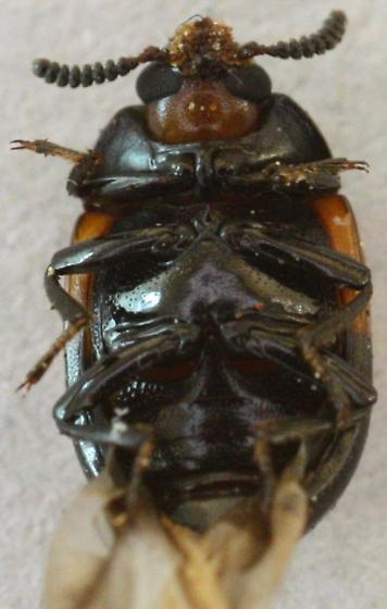 Diaperis maculata ? - Diaperis maculata