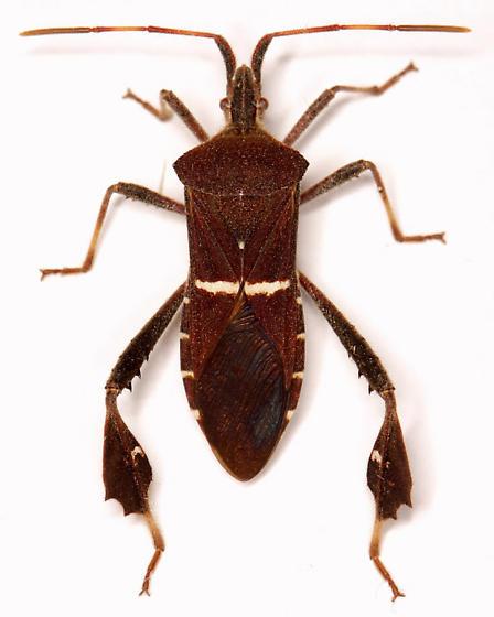 Leptoglossus phyllopus (Linnaeus) - Leptoglossus phyllopus