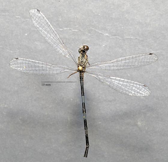 Coenagrionidae - Argia sp?