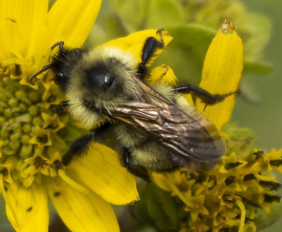 Unknown Bumblebee - Bombus citrinus