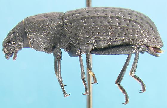 Tenebrionid - Polypleurus perforatus