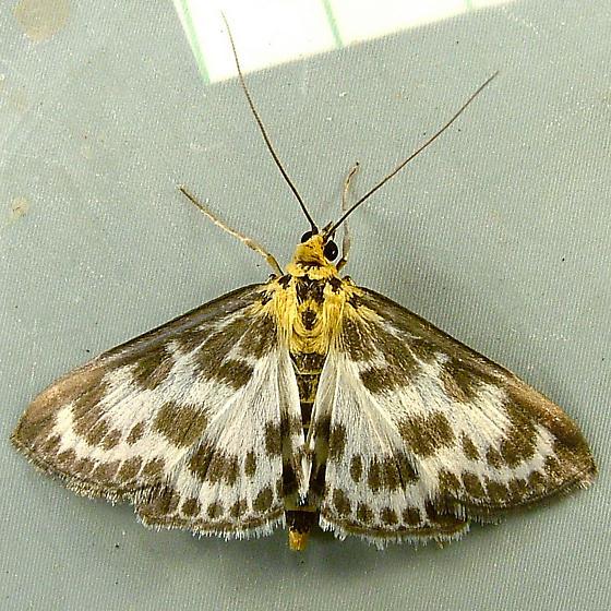 2448 Anania hortulata - Small Magpie 4952 - Anania hortulata
