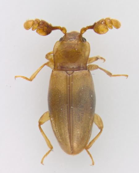 Endomychidae, dorsdal - Phymaphora pulchella - male