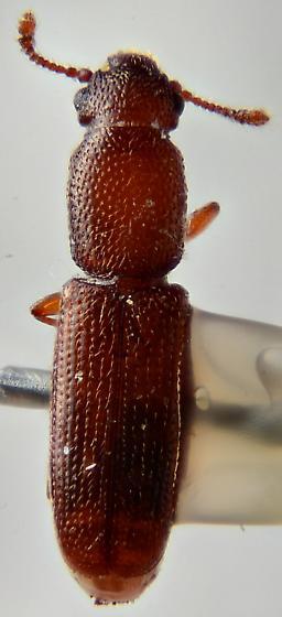 Small beetle? - Macreurops longicollis