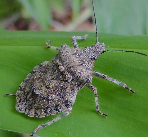 Rough Stink Bug - Brochymena